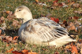 Snow Goose, ML75716651