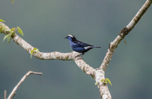 Opal-crowned Tanager