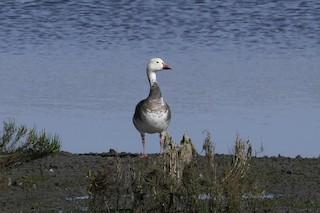 Snow Goose, ML75796321