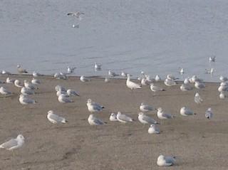 Ross's Goose, ML75859461