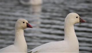 Ross's Goose, ML75860641