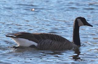 Canada Goose, ML75896211