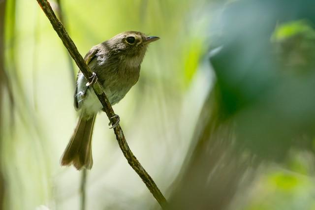 Drab-breasted Pygmy-Tyrant