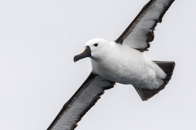 Yellow-nosed Albatross (Indian)