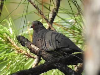 Common Ground Dove, ML76103231