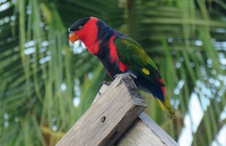 - Black-capped Lory