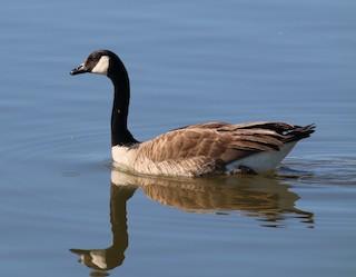 Canada Goose, ML76122151