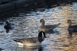 Greater White-fronted Goose, ML76162231