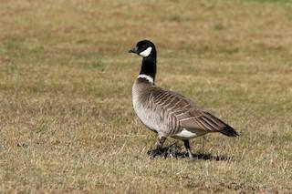 Cackling Goose, ML76209721