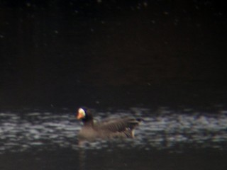 Greater White-fronted Goose, ML76233961