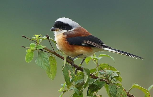 Bay-backed Shrike