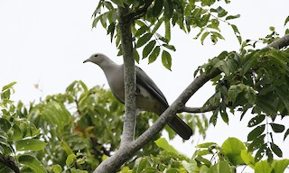 - Gray Imperial-Pigeon