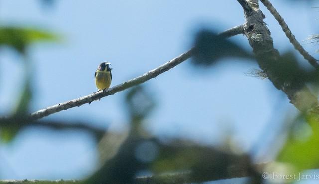 Tboli Sunbird