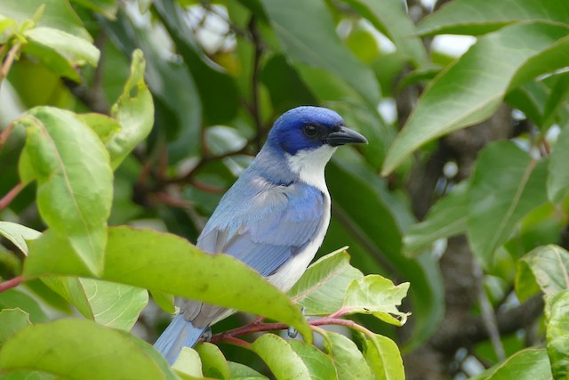 Adult female Blue Vanga.