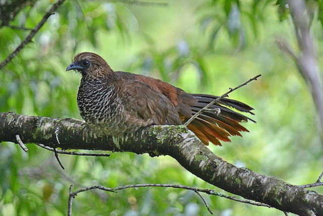 Scaled Chachalaca
