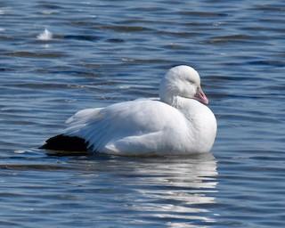 Ross's Goose, ML76682701