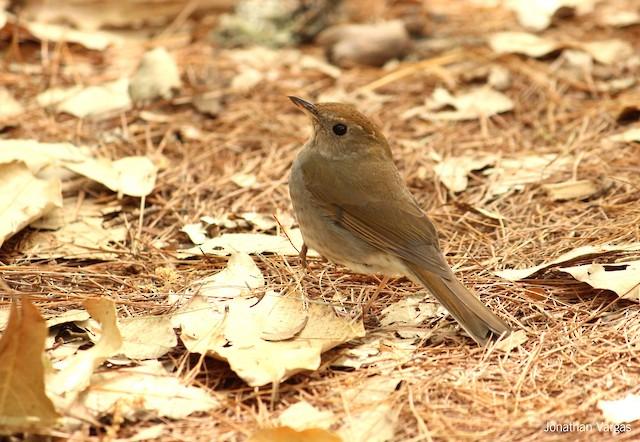 Russet Nightingale-Thrush