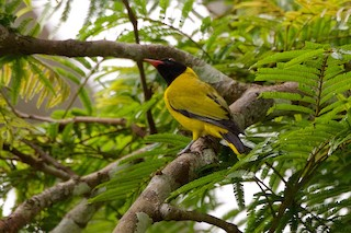 - Black-winged Oriole