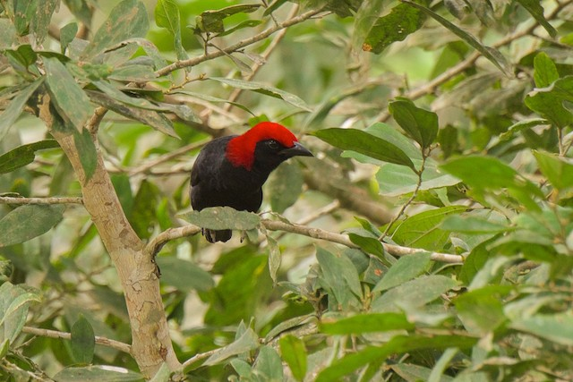 Red-headed Malimbe
