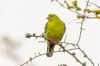 - African Green-Pigeon