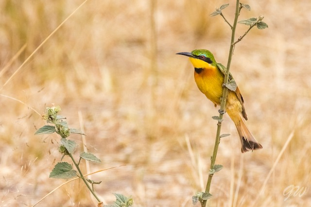 Little Bee-eater ML76793551