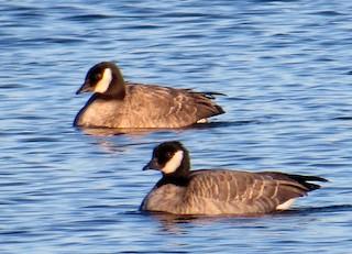 Cackling Goose, ML76811931