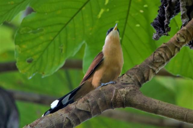 Cocos Cuckoo