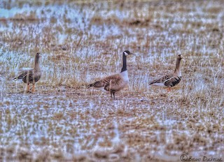 Greater White-fronted Goose, ML76864961