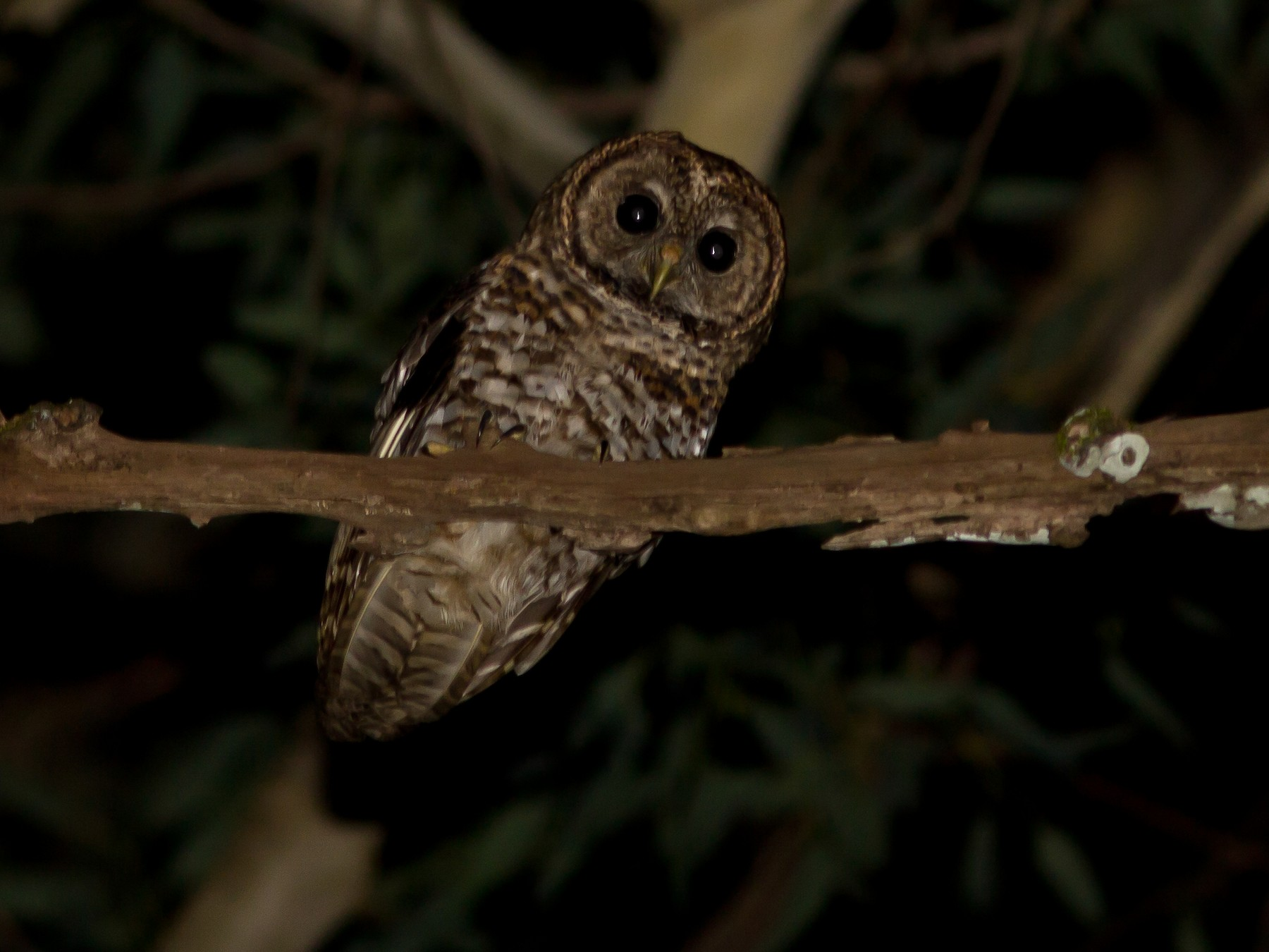 Rusty-barred Owl - Rogério Machado