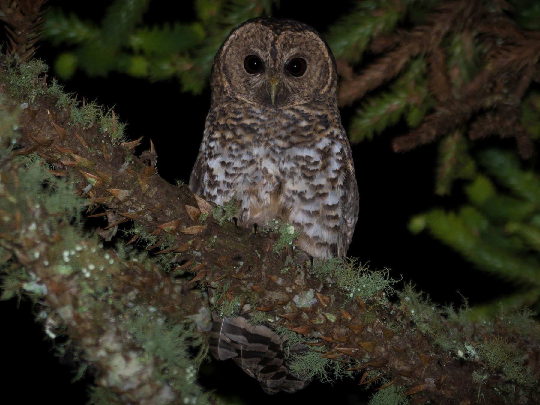 Rusty-barred Owl - Nereston Camargo