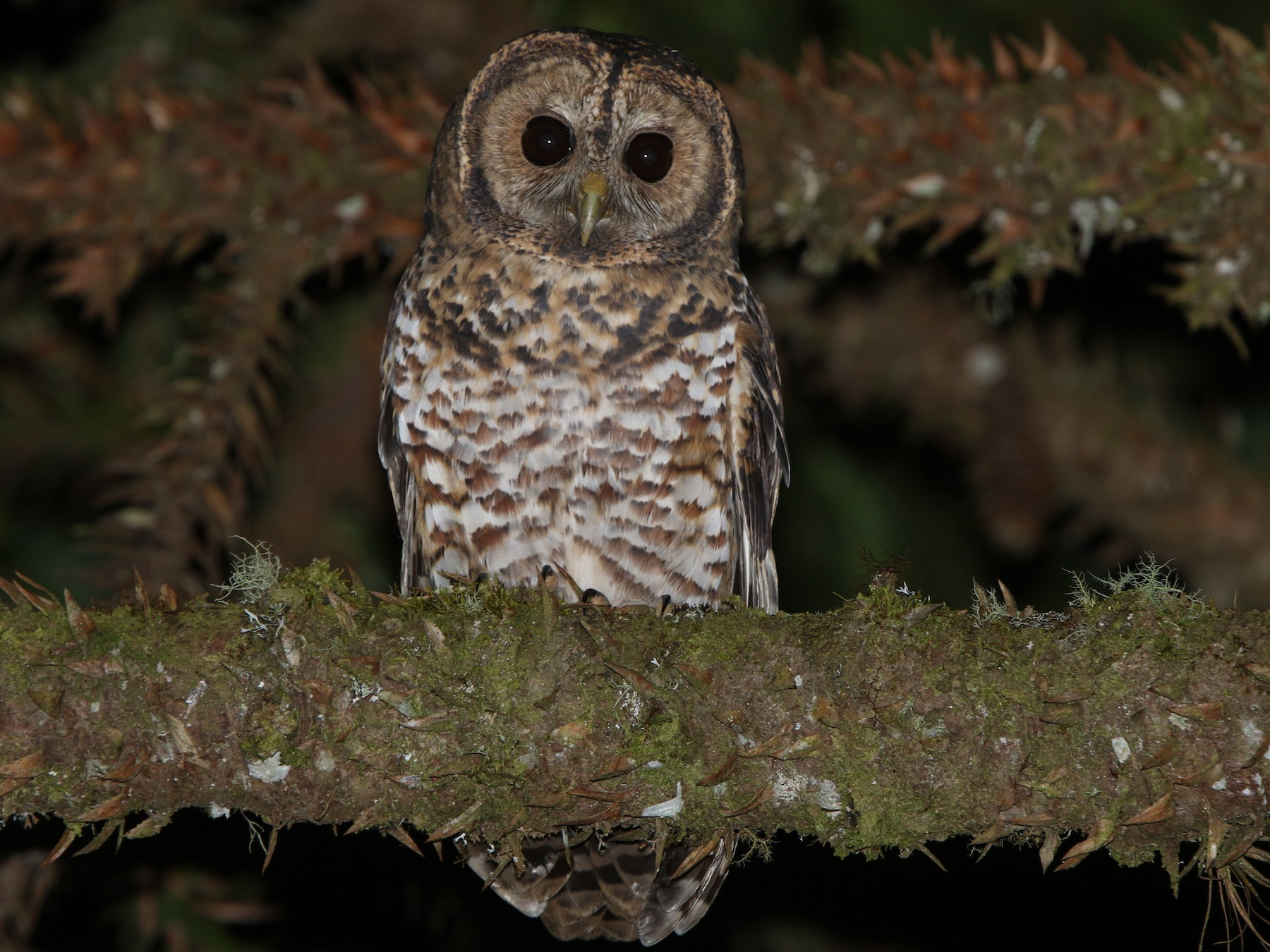 Rusty-barred Owl - Thompson Ian