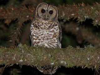 - Rusty-barred Owl