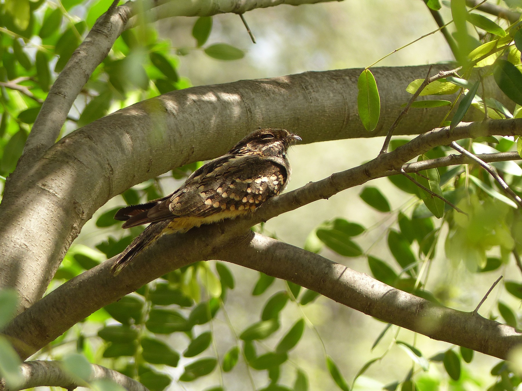 Little Nightjar - Julien Birard