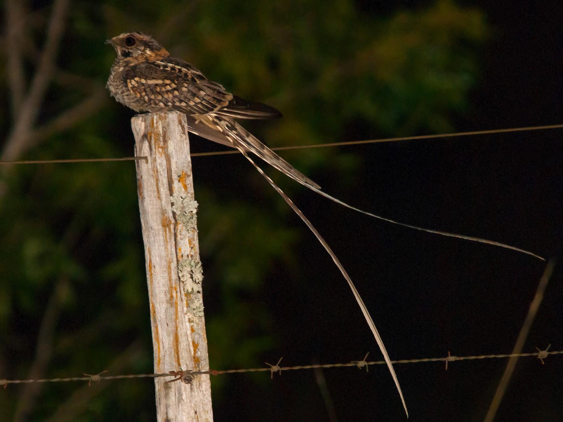 Scissor-tailed Nightjar - Marcelo Allende