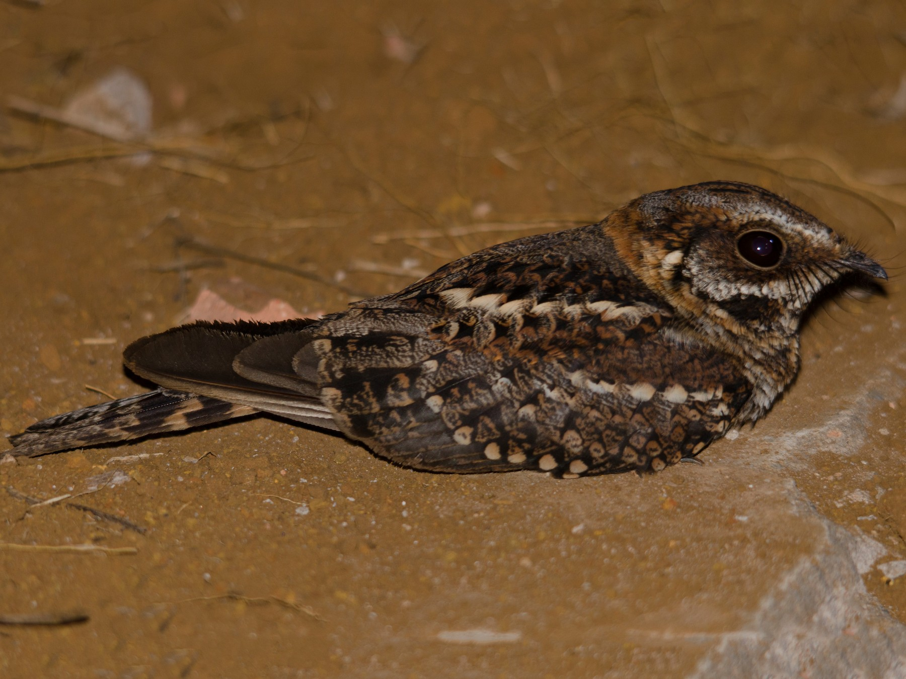 Scissor-tailed Nightjar - Luiz Carlos Ramassotti