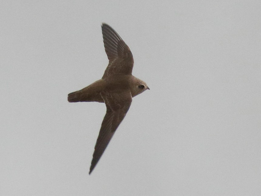 Great Dusky Swift - Dave Curtis