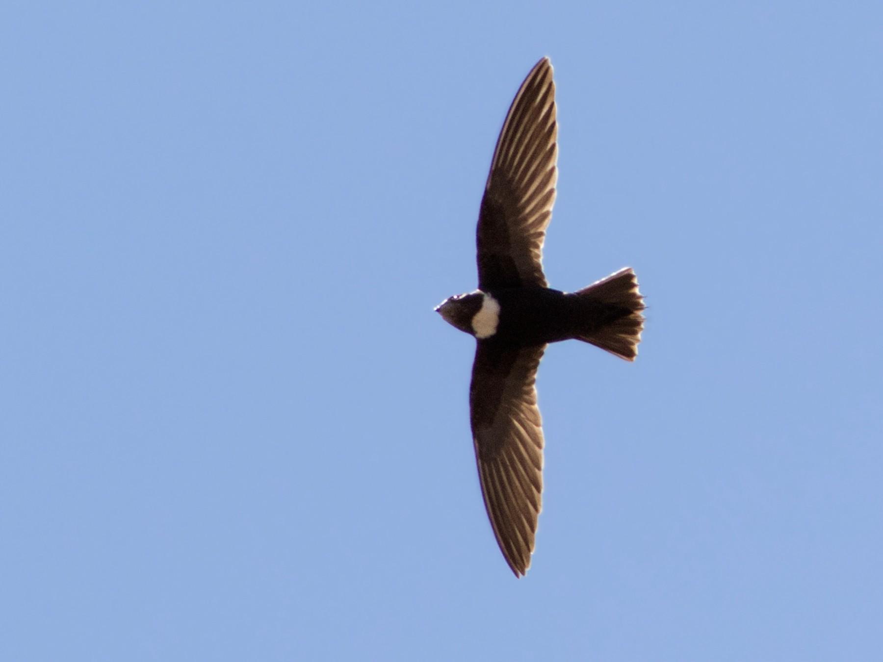 Biscutate Swift - Caio Brito