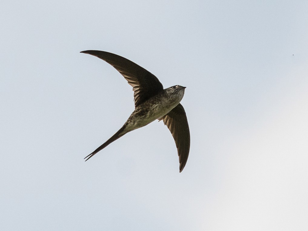 Fork-tailed Palm-Swift - Jerome Foster