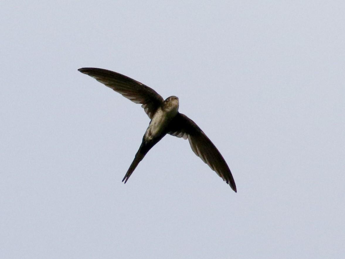 Fork-tailed Palm-Swift - Jay McGowan