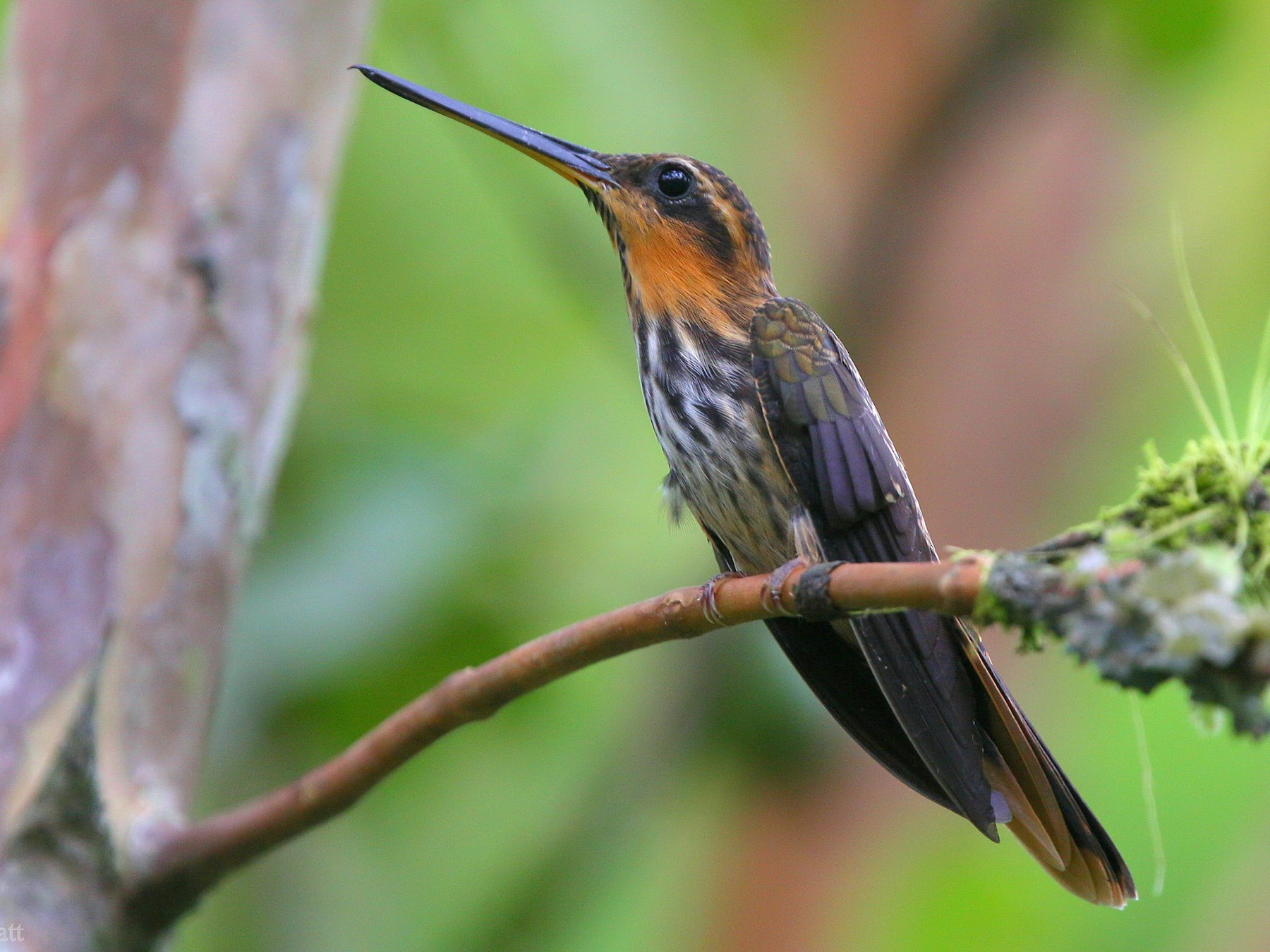 Saw-billed Hermit - Paul Pratt