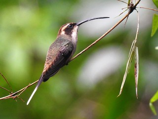 - Scale-throated Hermit