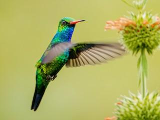 - Glittering-bellied Emerald