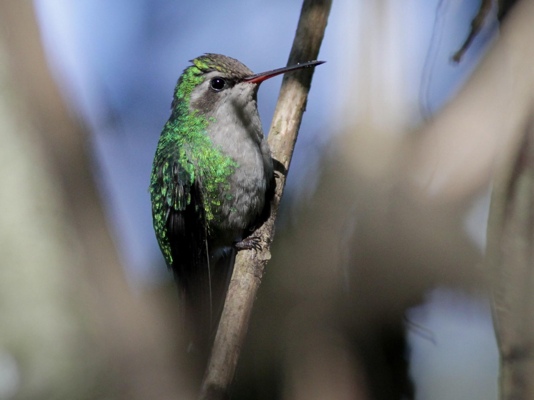 Glittering-bellied Emerald - Ian Davies
