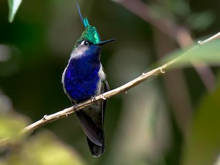 - Green-crowned Plovercrest