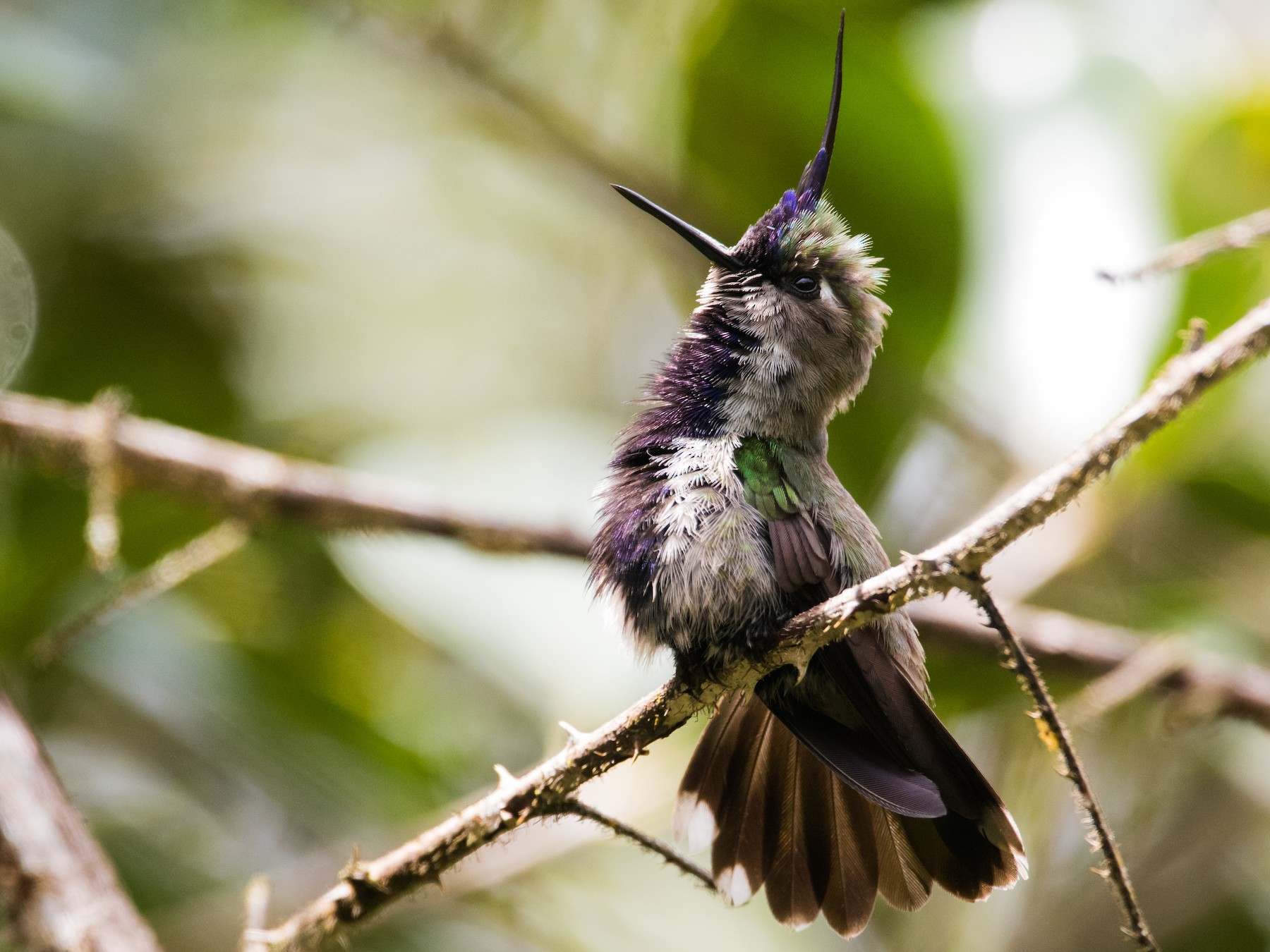 Purple-crowned Plovercrest - Claudia Brasileiro