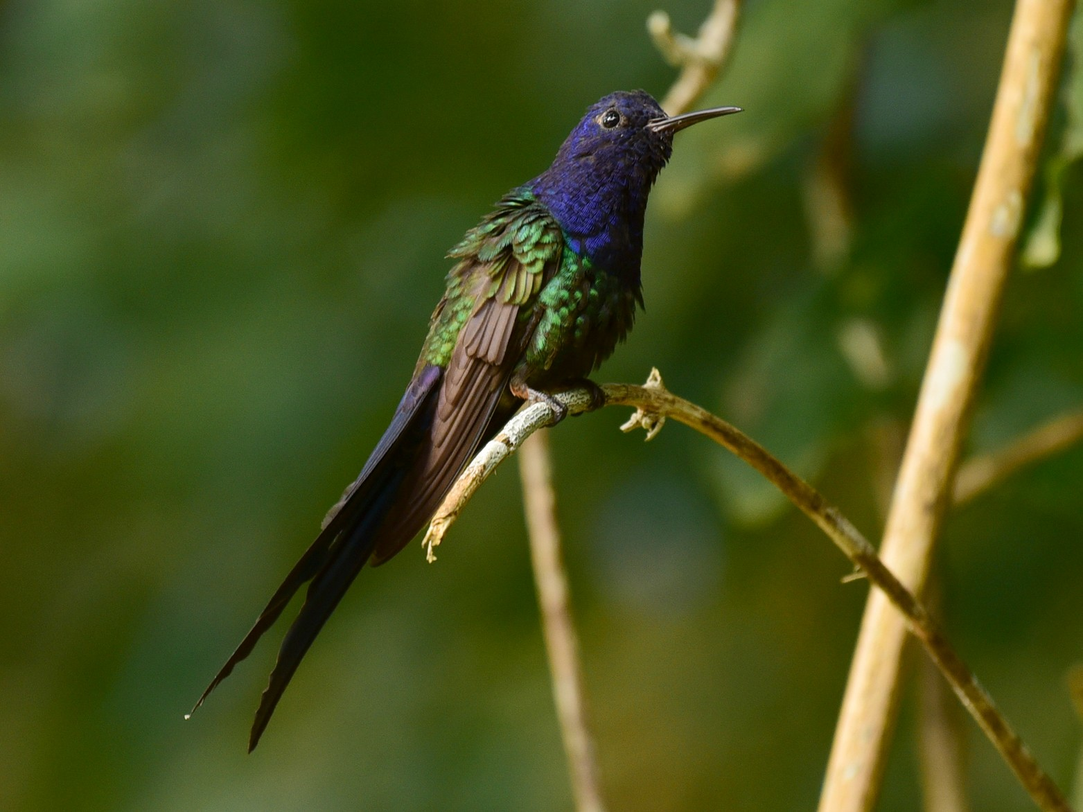 Swallow-tailed Hummingbird - Luiz Moschini