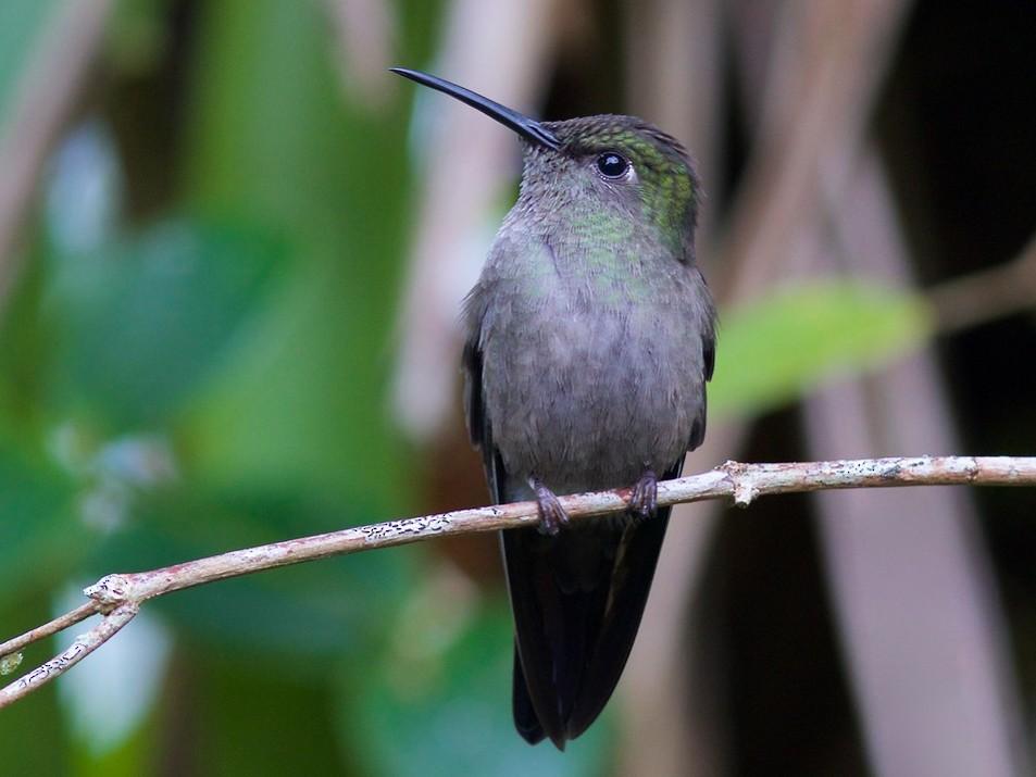 Sombre Hummingbird - Luiz Matos