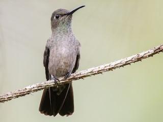 - Sombre Hummingbird