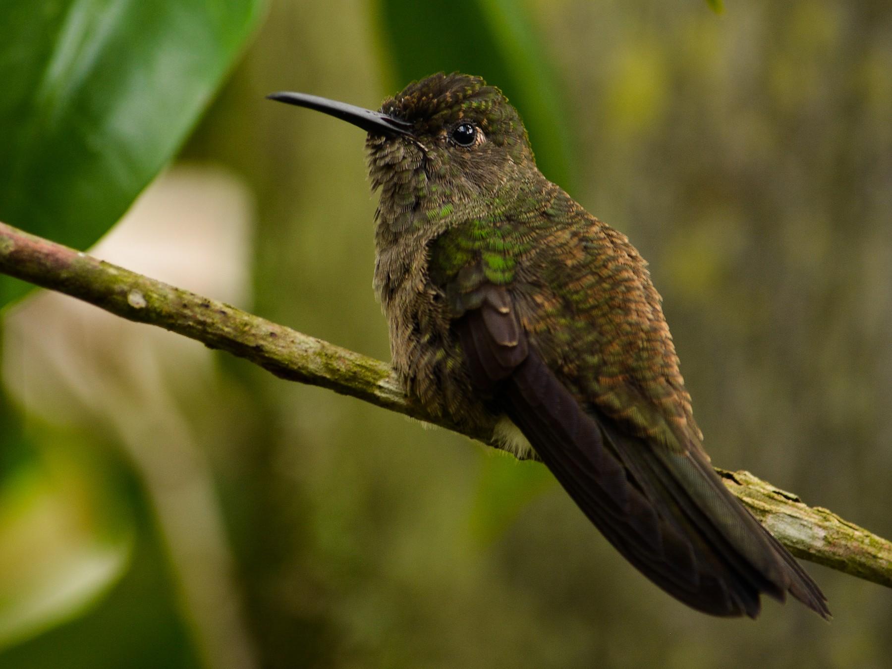 Sombre Hummingbird - João Gava Just