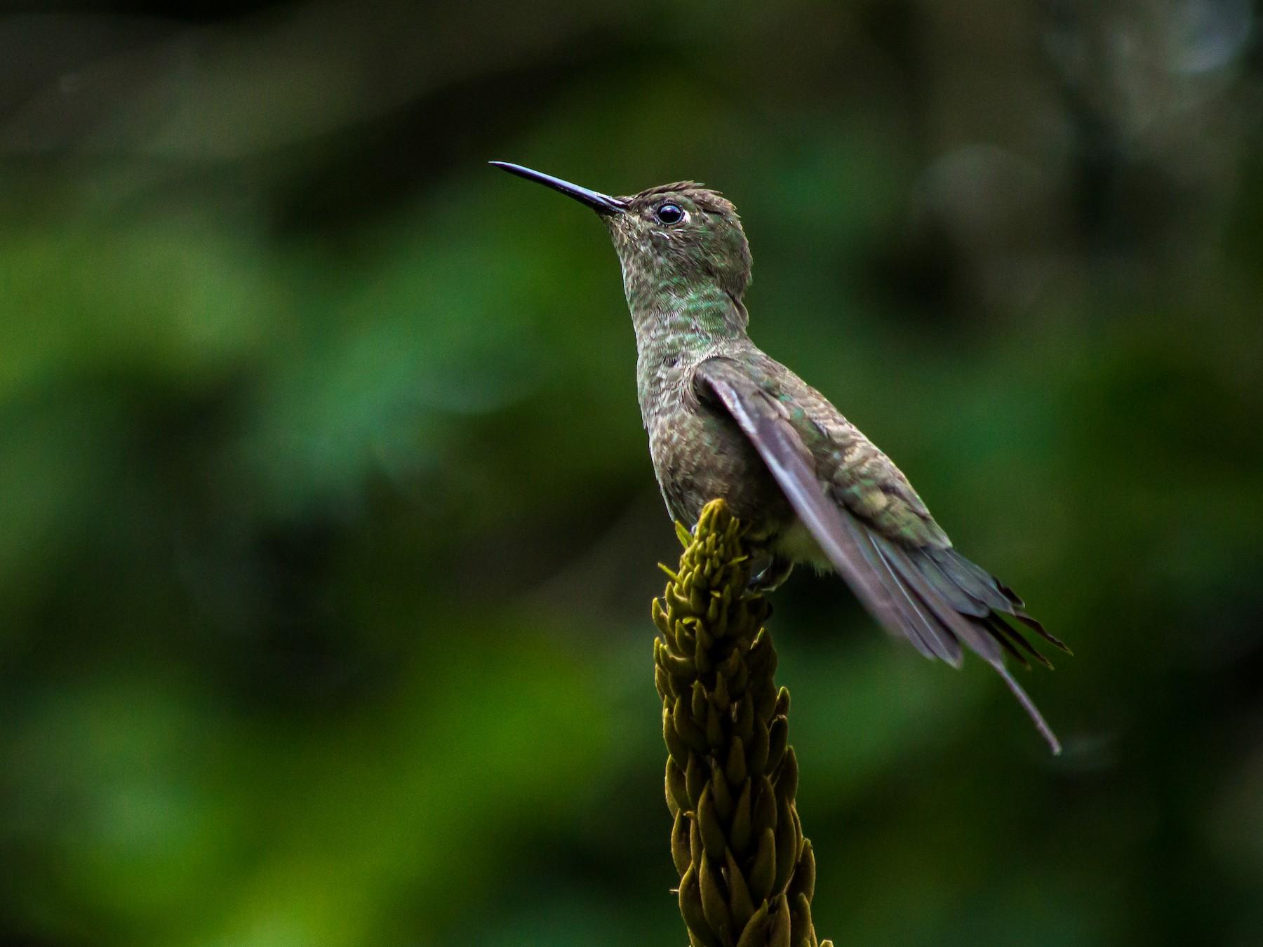 Sombre Hummingbird - André  Zambolli